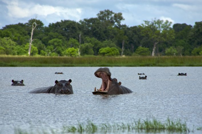 Hippopotamus in Okavango Delta – Moremi National Park
