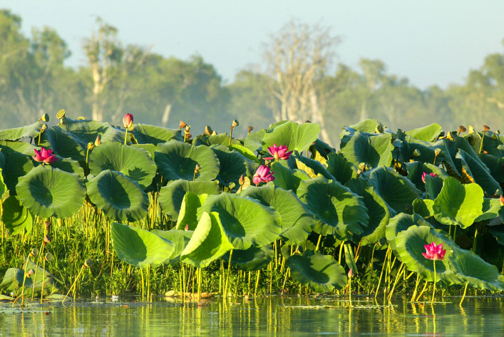 Water Lillies in Kakadu National Park, Australia