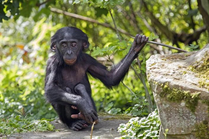Affe_Dschungel_Afrika_Kongo_shutterstock_213827254