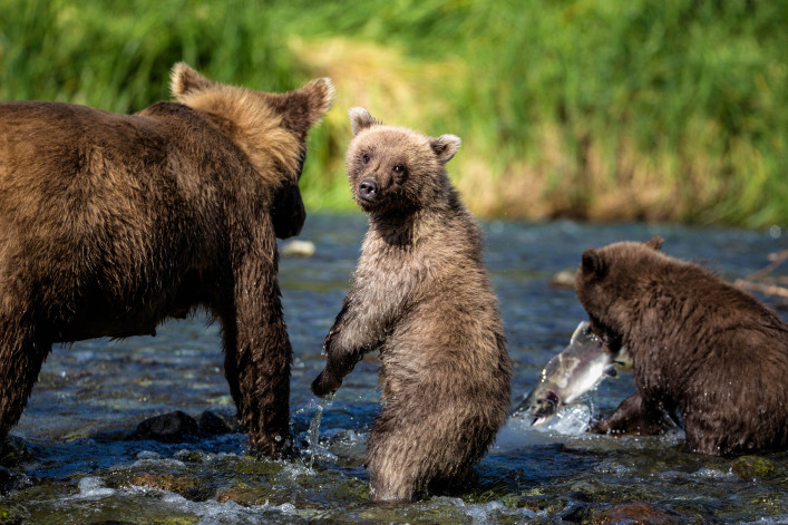Coastal Brown Bear Family