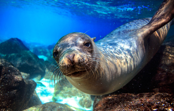 Curious sea lion underwater
