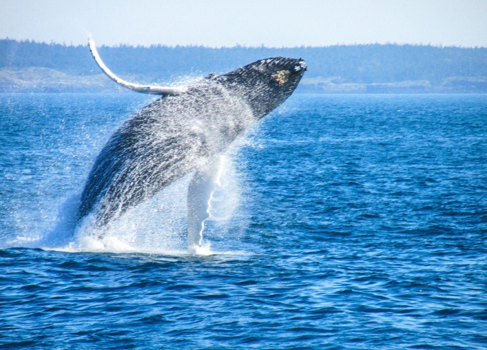 Humpback Whale in the Bay of Fundy