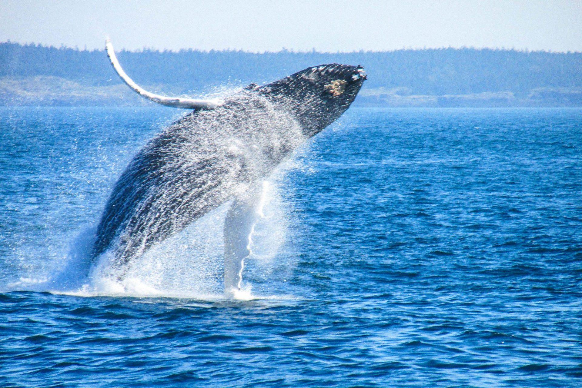 Bei den Whale Watching Touren kann man den Walen oft ganz nah kommen