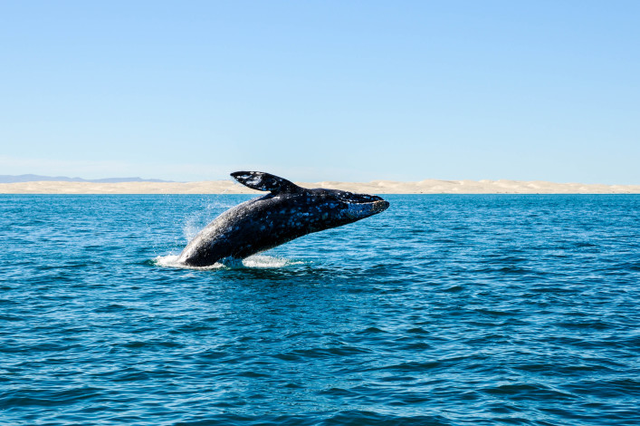 breaching grey whale whatching
