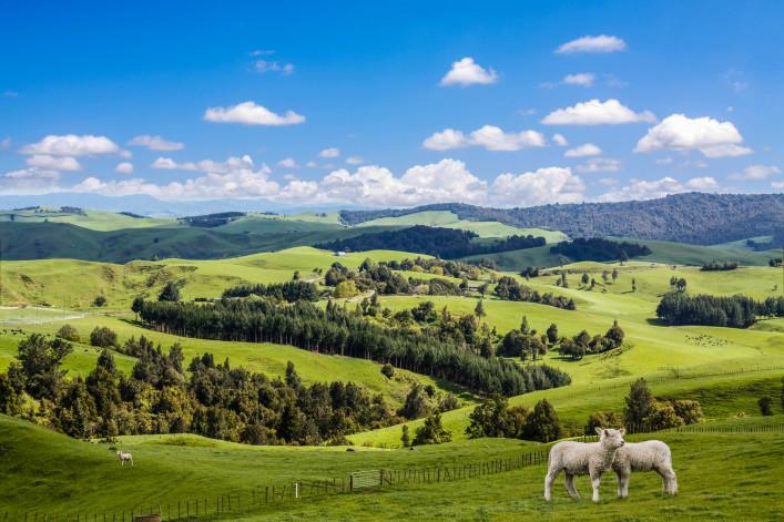 Two lambs grazing
