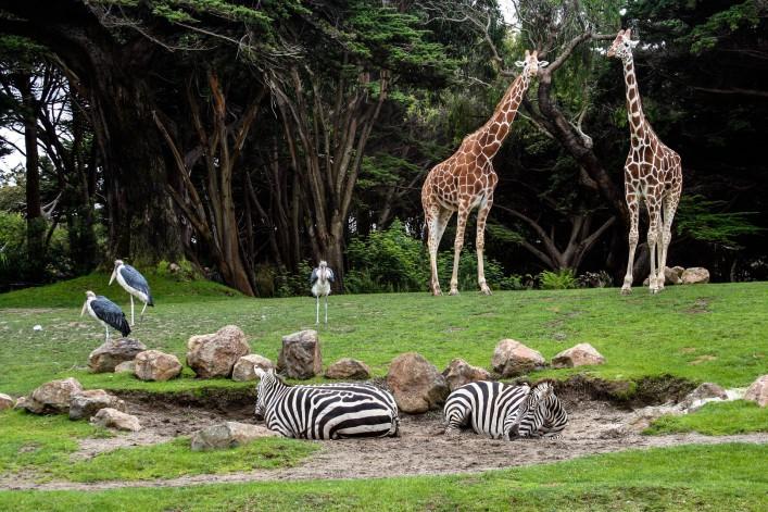 Die schönsten Zoos in Deutschland Giraffen Savanne