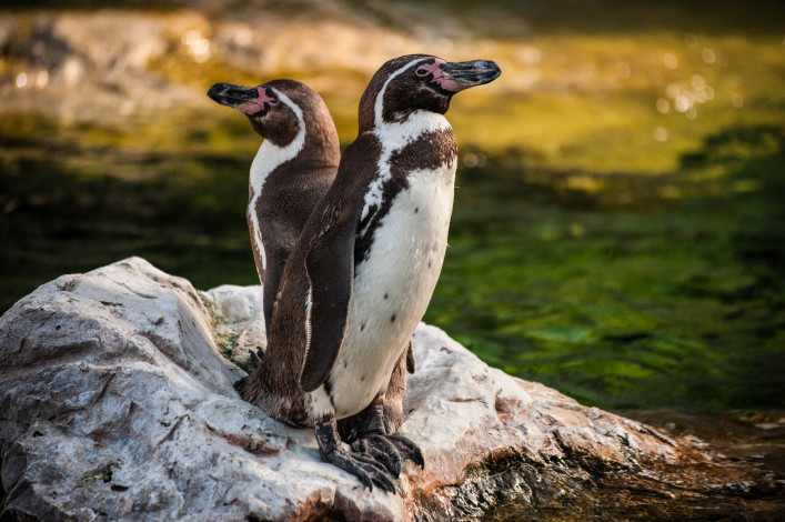 Two Yellow Eyed Penguins standing on the rock