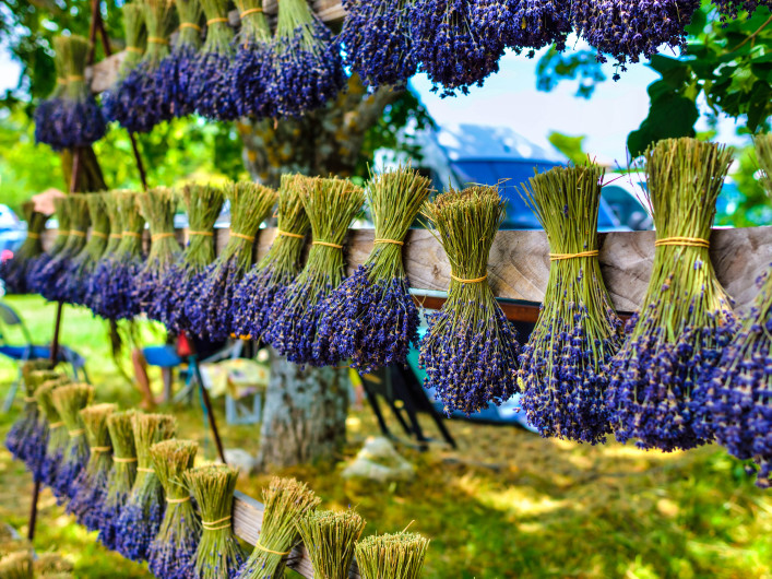 Bunches of lavender flowers on a wooden fence outdoor. Provence, France shutterstock_344042204-2