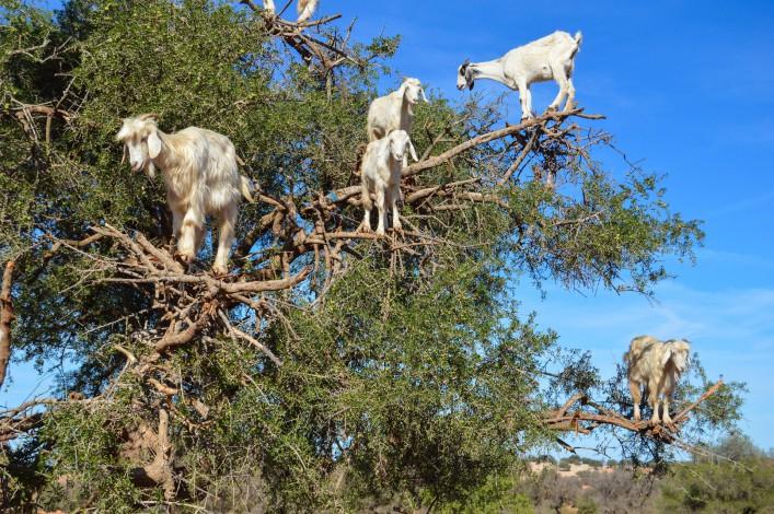Marrakesch Tipps Ziegen Arganbaum Arganöl