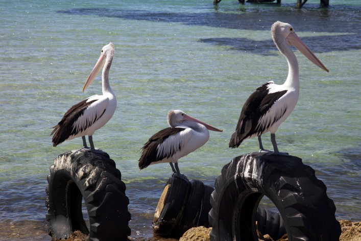 Australian Pelican resting on tires