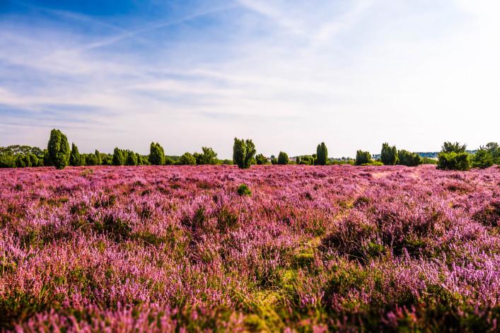 Lüneburger Heide Heidblüte Blütezeit