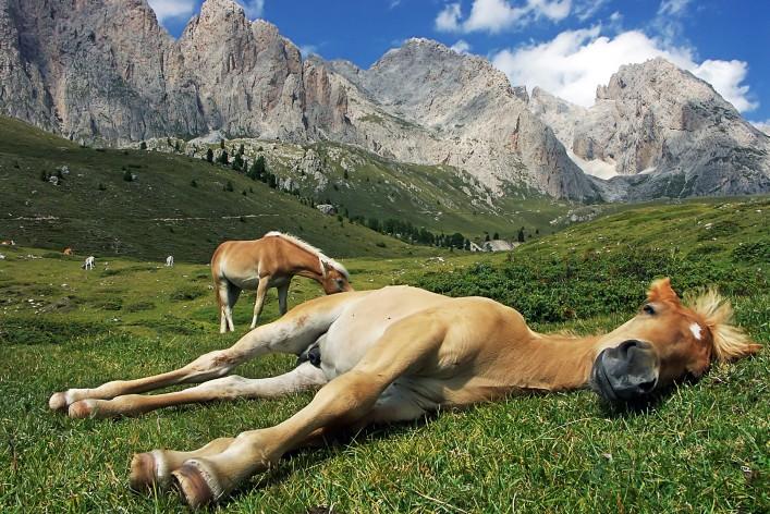 Haflinger_Südtirol_sleeping horses_shutterstock_103891835