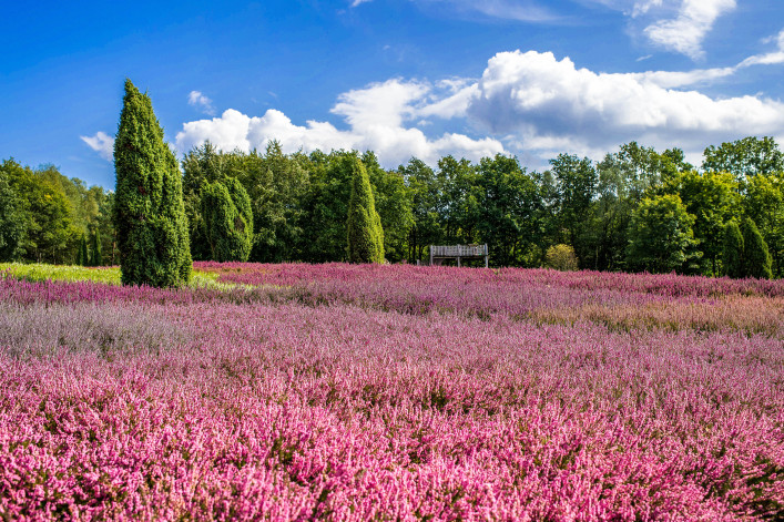Lüneburger Heide Heideblüte Blütezeit
