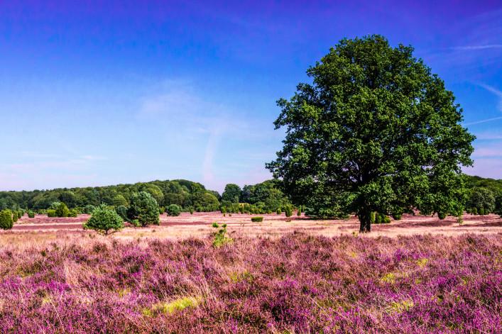 Lüneburger Heide Heidefelder Blütezeit