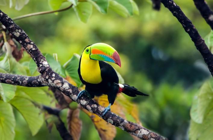 Costa Rica Tiere Tucan