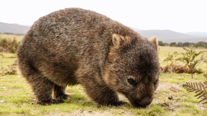 Tierische Einheimische Wombat