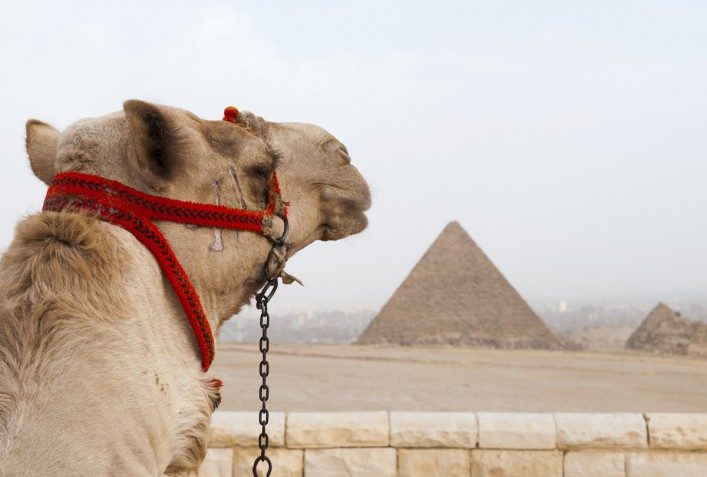 Camel at the Pyramids of Giza in Egypt