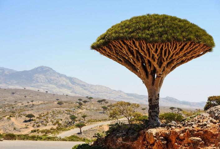 Yemen Socotra island Dragon tree Dracaena cinnabari shutterstock_182485898-2