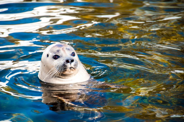 Common Seal shutterstock_116854228-2 a