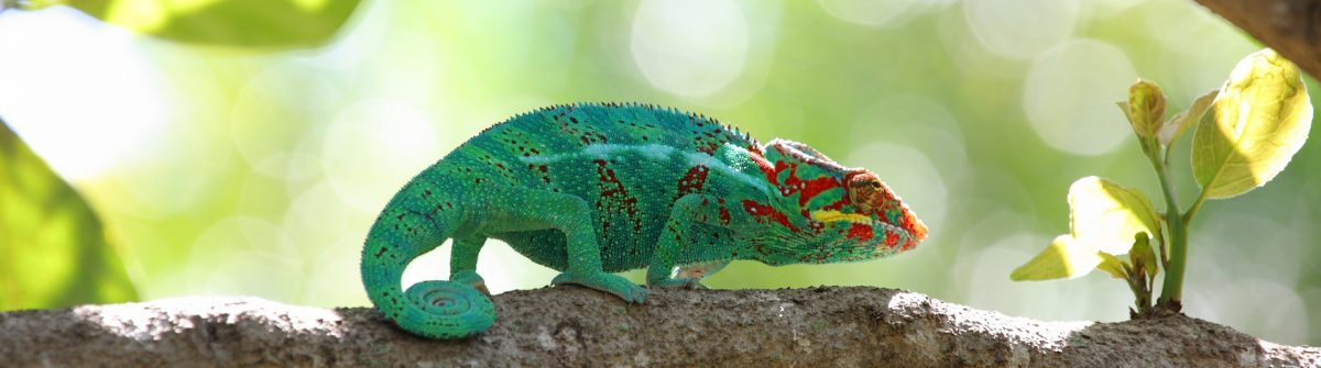 Chameleon in Reunión Island.