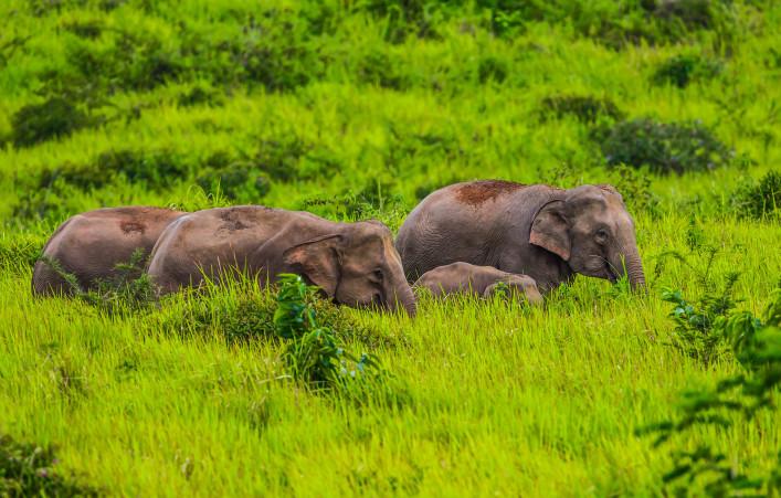 Kleine Gruppe von wilden Elefanten Nationalpark Khao Yai iStock_000073602235_Large-2