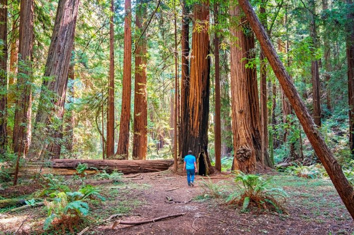 Man Hikes among Redwood Trees Muir Woods National Monument California