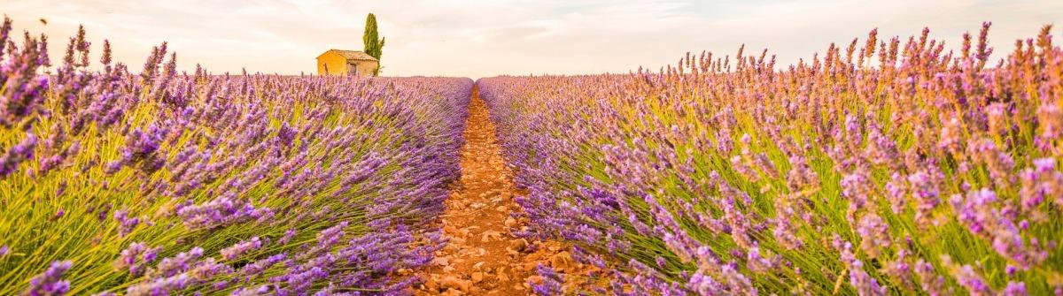 Lavendelfelder in der Provence