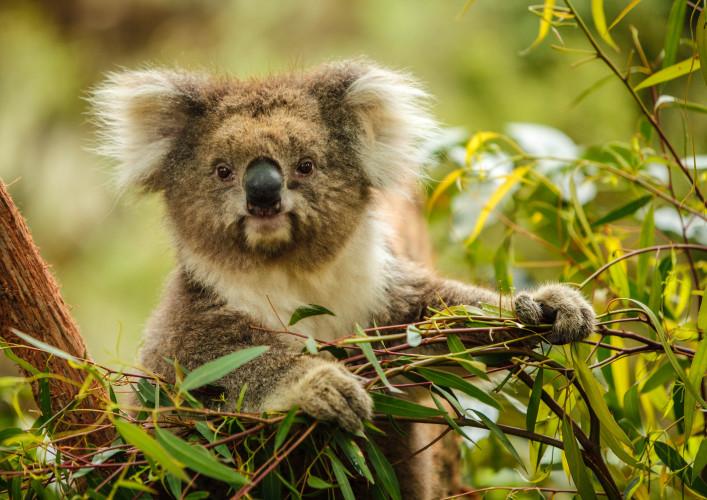 Sydney Sehenswürdigkeiten Zoo Koala