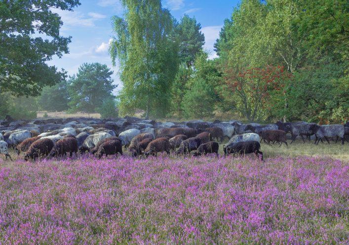 Moorland Sheep in Luneburger Heath,Germany