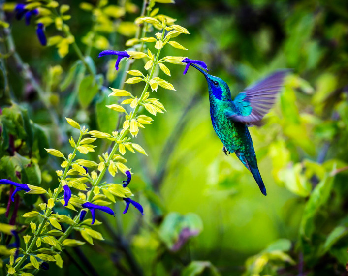 The incredibly beautiful Green Violet Eared Hummingbird shutterstock_315763277-2