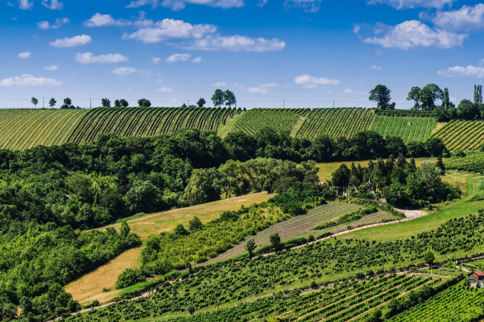 Vineyards of Kahlenbergerdorf in summer, Vienna, Austria, Europe