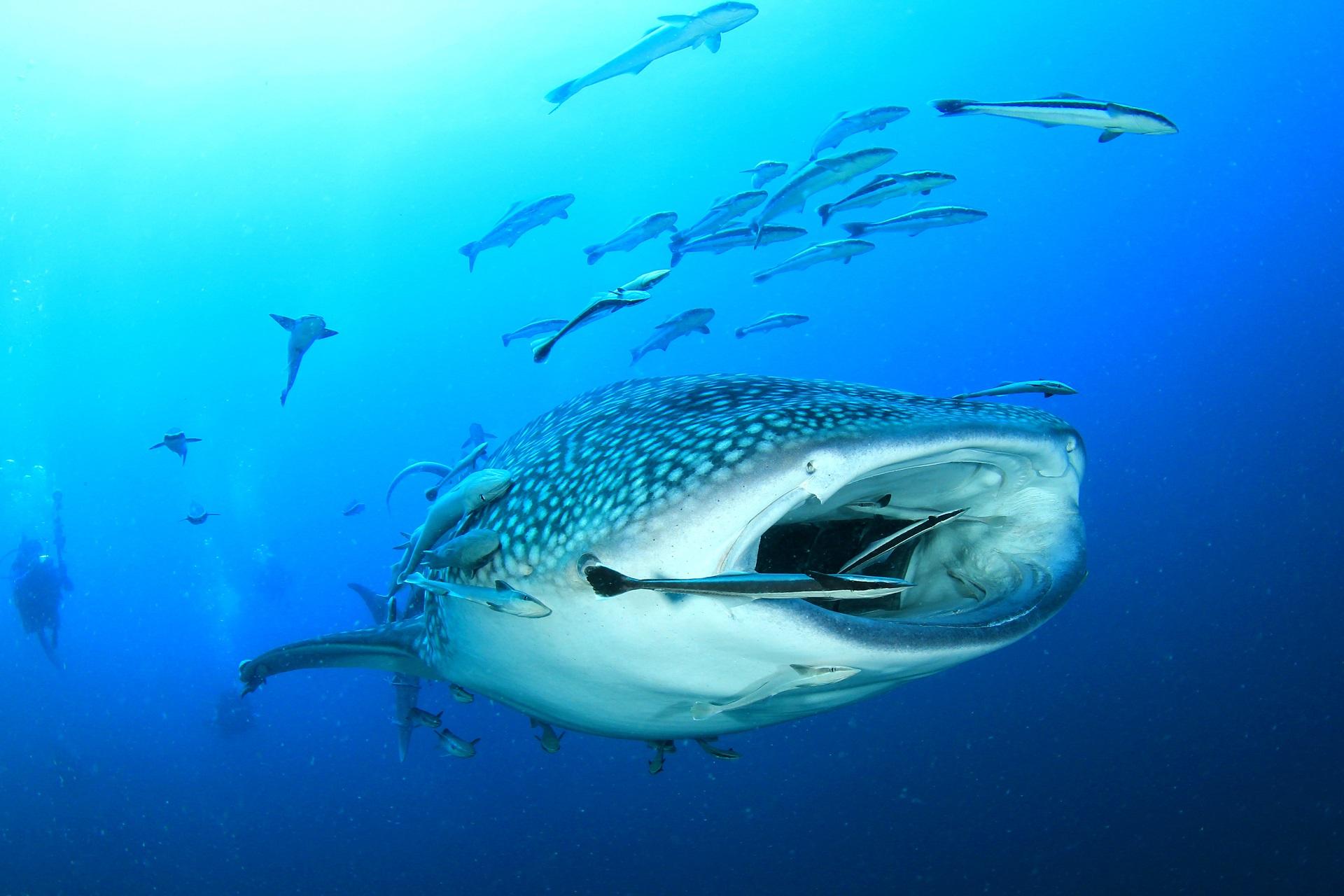Mit Walhaien schwimmen - So klappt's   Urlaubsguru.de