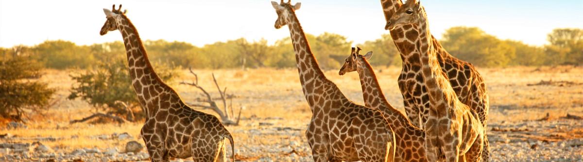 Family of Wild Giraffes in Etosha NP Namibia Africa