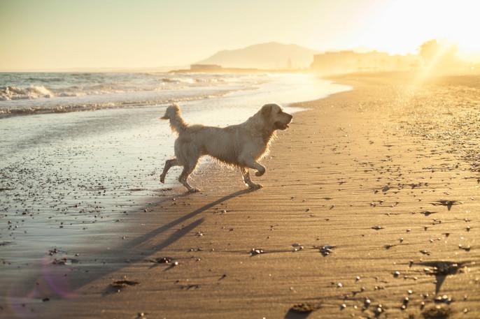 Hund Golden retriver spielt Wellen, Strand Sonnenuntergang iStock_000058836382_Large-2
