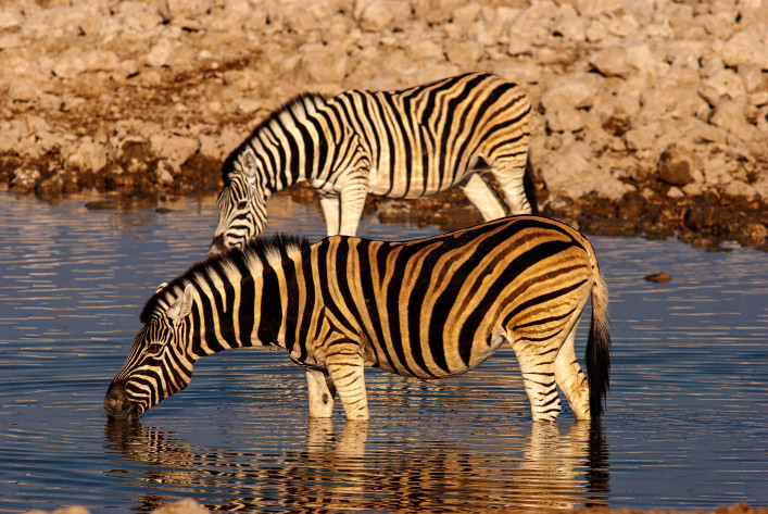 Zebras drinking at Okaukuejo waterhole, Etosha National Park, Namibia