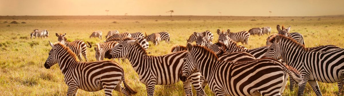 Zebras in der Savanne Kenias