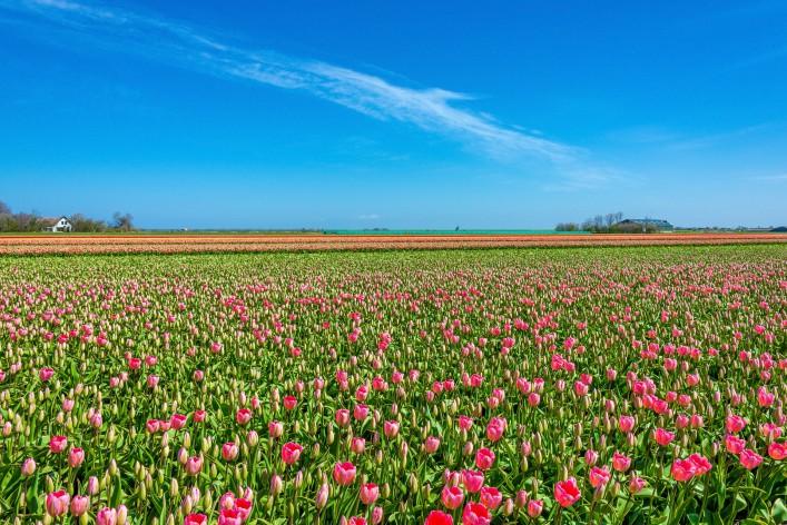 Texel Niederlande Tulpen