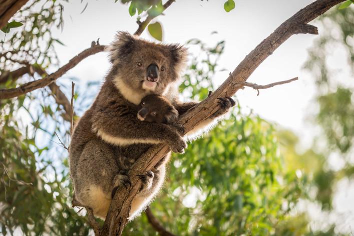 Adelaide Wildlife Park Koala