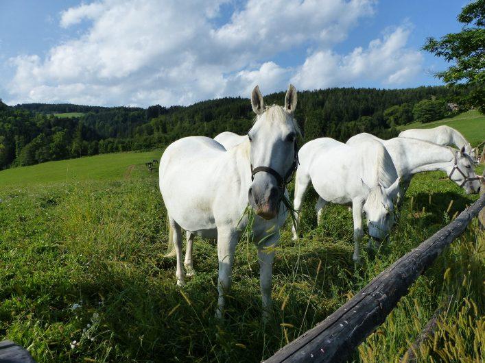 Steiermark Lipizzaner