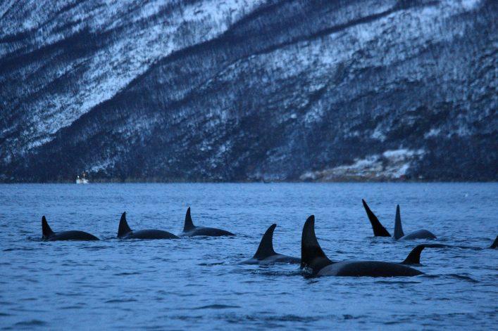 orcas norwegen shutterstock_605336543