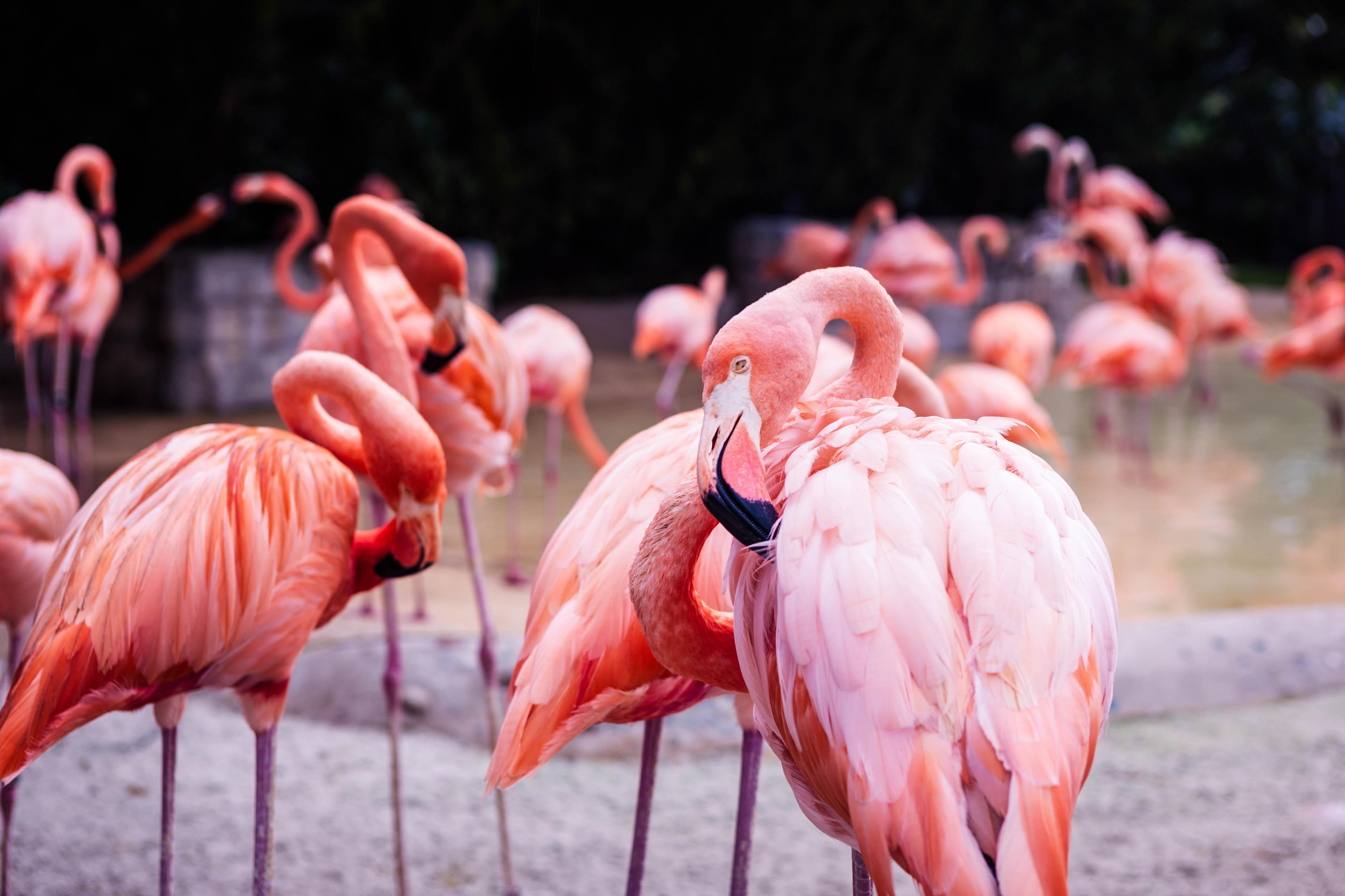 Las Vegas Attraktionen, Flamingos