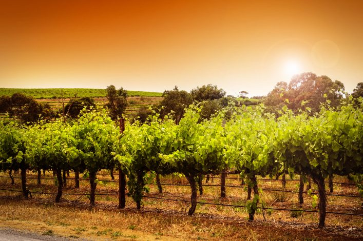 Rows of grapevines taken at Australia's prime wine growing winery area shutterstock_228212014-2
