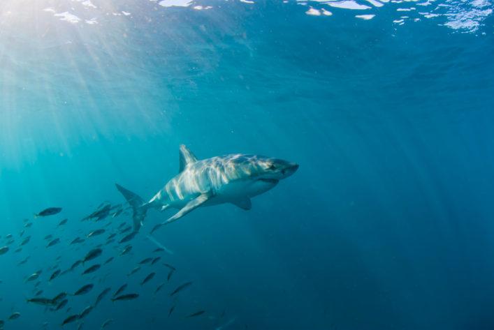 weißer Hai shark tauchen diving