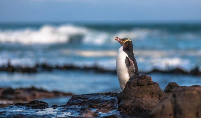Gelbaugenpinguin Pinguine sehen Neuseeland