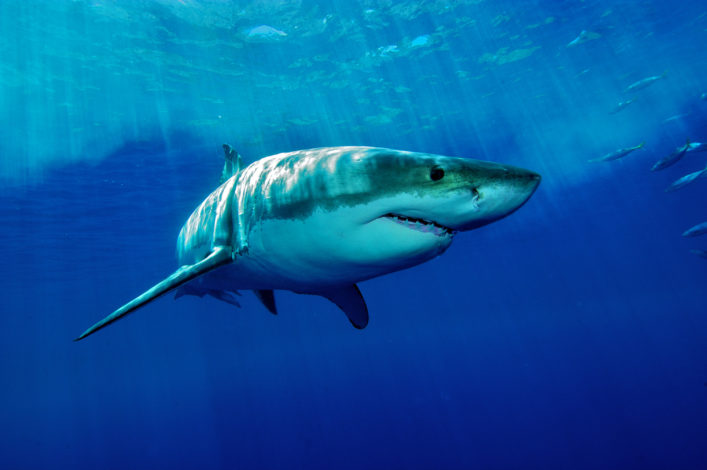Great white shark from Guadalupe Iceland shutterstock_161038769