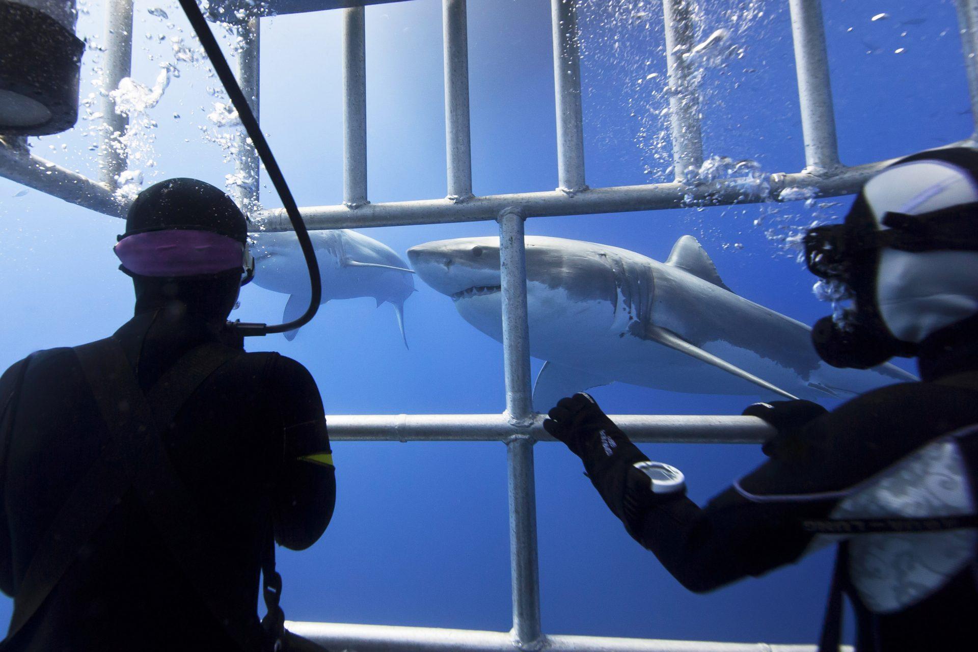Taucher im Käfig mit weißem Hai