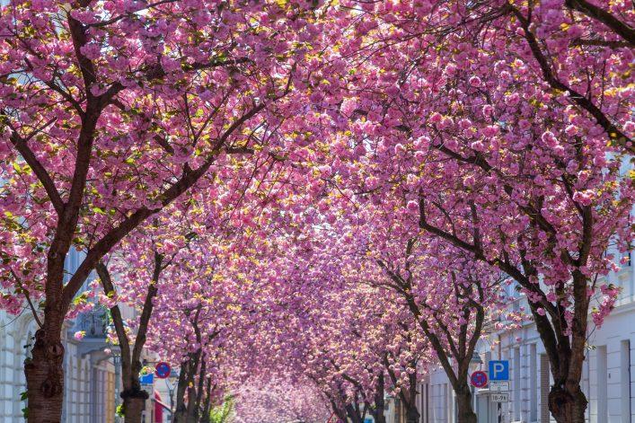 In Bonn erwartet euch die herrlich pinke Kirschblütenpracht