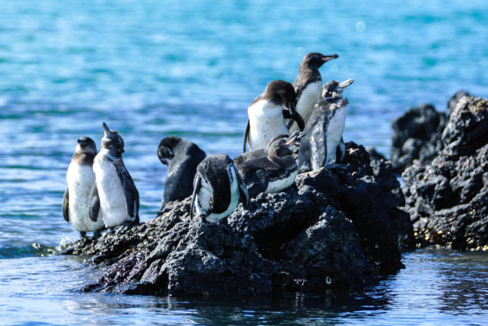 Galapagosinseln Pinguine sehen Südamerika