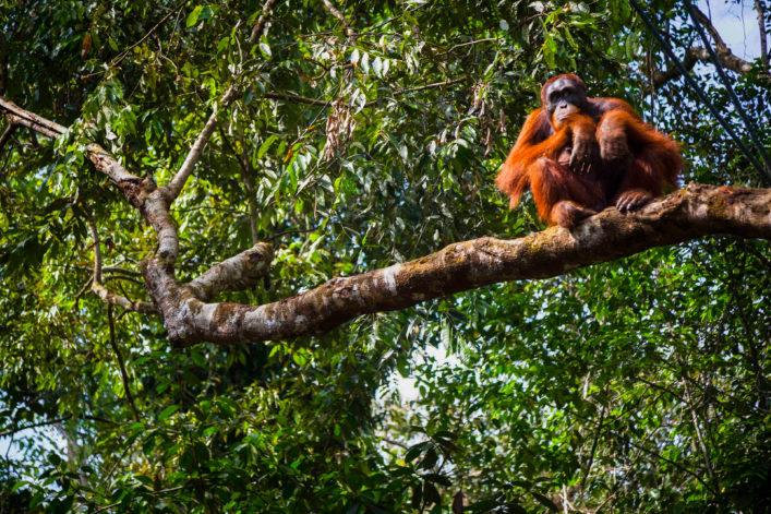 Orang-Utan auf Sumatra