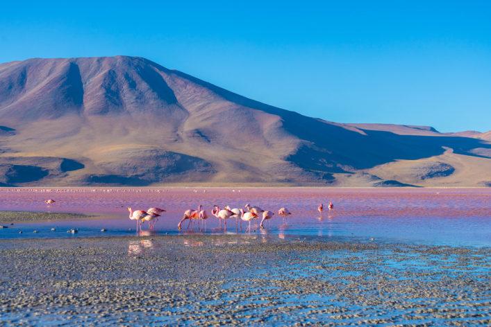 """Pink flamingos at """"Laguna Colorada"""" on the Bolivian Andes"""